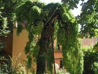 Bologna, la Sofora centenaria malata che vive grazie a tre fusti ottantenni